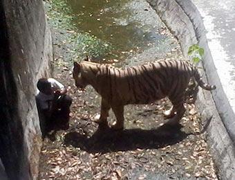 印度动物园老虎咬死一学生