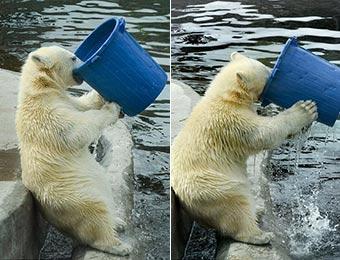 莫斯科动物园北极熊端桶喝水憨态十足