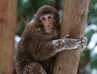 四川彭州遭强降温 众野猴下山觅食