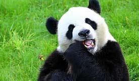 大熊猫――中欧友谊的使者