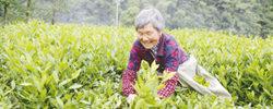 小茶叶如何扛起脱贫大梁靠茶吃茶,安化人交出了漂亮答卷:近两年黑茶产业帮助5万多贫困人口顺利脱贫。[阅读]