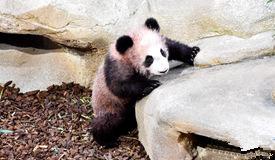 """首只在法国出生的大熊猫""""圆梦""""与公众见面"""