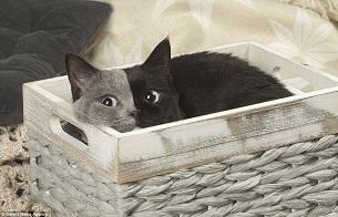 """胚胎嵌合令猫咪天生就有""""阴阳脸"""""""