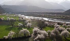 一带一路好风景 雪域桃花始盛开