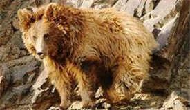 """中国帮助蒙古国保护濒危""""国熊"""""""