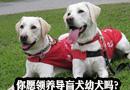 中国导盲犬大连培训基地先后有17只导盲犬幼犬出生,你愿领养导盲犬幼犬吗?[阅读]