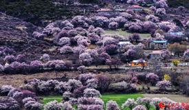 芳菲四月 去林芝享桃花盛宴