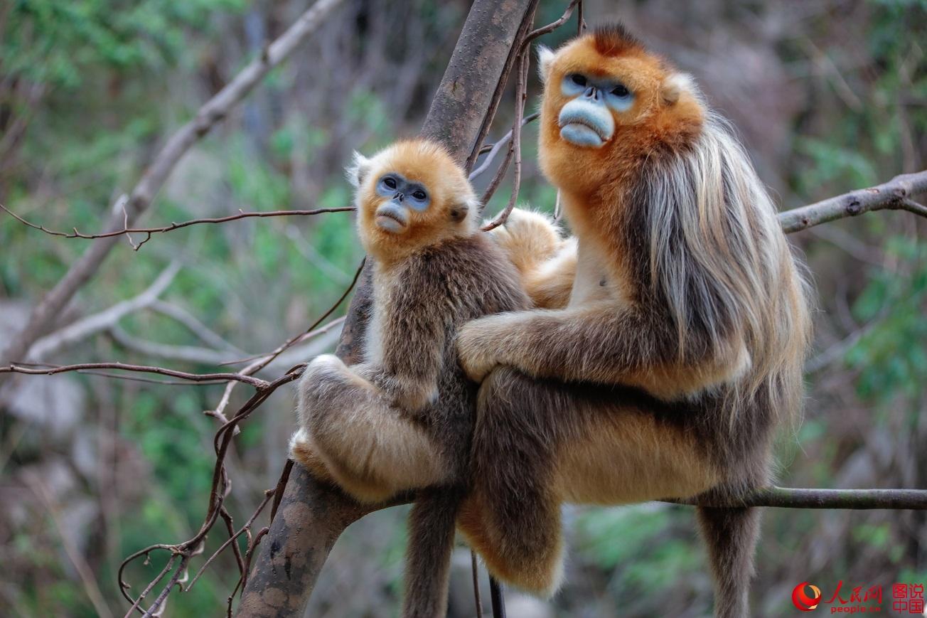 陇南大山深处的精灵――金丝猴