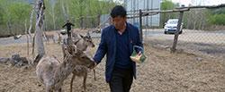 大兴安岭养鹿人和他的童话世界内蒙古阿尔山洮儿河畔,曾经的林业工人郑晓林用十年时间圆了他返乡创业的致富梦。[阅读]