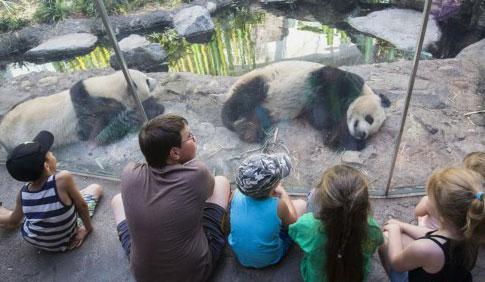 加拿大卡尔加里:大熊猫暑假受热捧