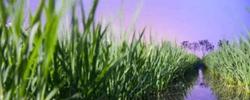 海水稻:打开粮食增产想象空间两院院士大会上,习总书记提及海水稻。它到底是什么?口感怎么样?研发状况如何?[阅读]