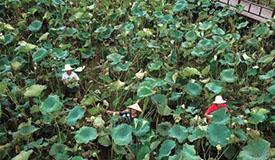 江西南昌:荷塘套养迎丰收