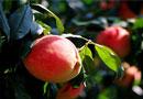 世外桃源的桃子熟了