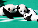 大熊猫宝宝首亮相