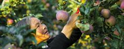 """云南昭通:半城苹果满城香昭通的""""小""""苹果,已经发展成了""""大""""产业,带动了30万贫困群众增加收入。[阅读]"""