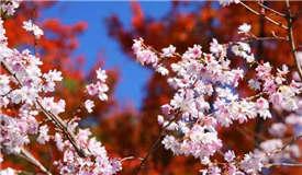 极端天气惹的祸?日本樱花秋季罕见绽放