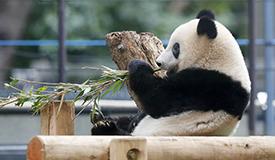十足小吃货!旅日大熊猫香香专心啃竹子