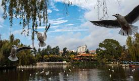 红嘴鸥聚集昆明翠湖