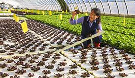河北永清:无土水培蔬菜助推产业升级