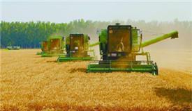 北京京郊:12万亩小麦丰收