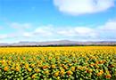 新疆伊犁州昭苏进入了五彩缤纷的世界,六万余亩向日葵金灿灿在田野中绽放[阅读]