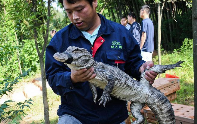 280条!安徽启动最大规模扬子鳄野外放归活动