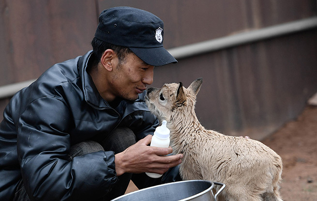 可可西里11只藏羚羊