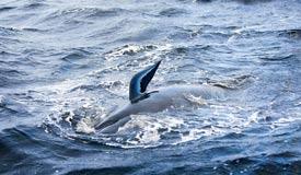 澳大利亚海湾搁浅鲸增至470头 救援进行中