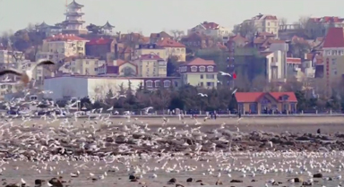 海鸥云集成为冬季青岛海滨风景线
