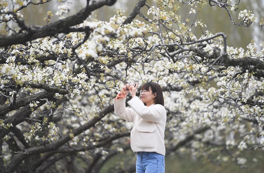 雄安新区:梨花竞放满园春