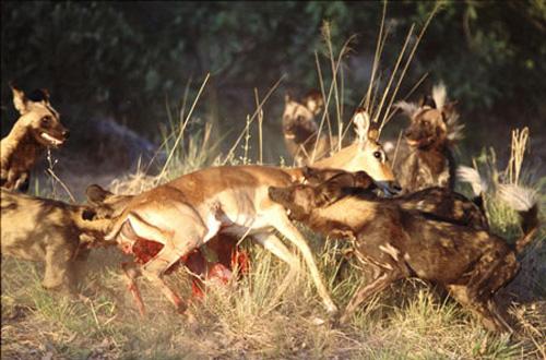 集体:血腥恐怖!非洲羚羊组图猎杀野狗(8)校服湿透女生图片