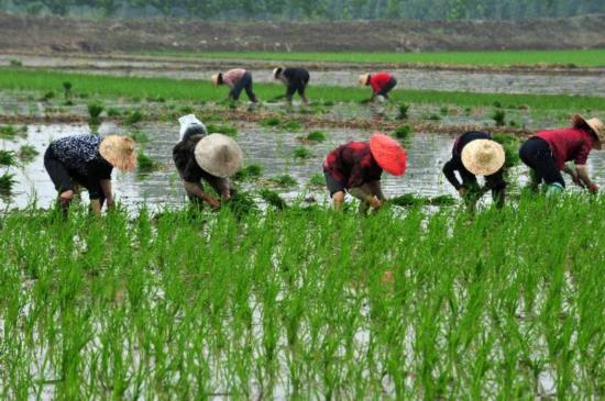South China provinces complete early-rice planting amid ...  South China pro...