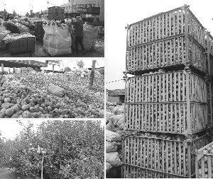 烟台苹果价格暴跌 果农半数苹果未卖出