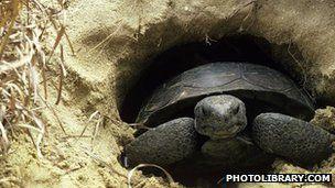 意大利科学家对赫尔曼陆龟的性生活进行了研究