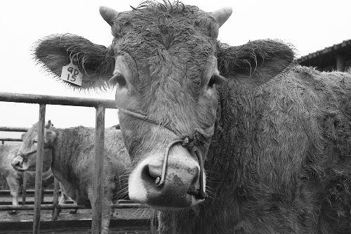 这种高档肉牛的牛肉,一公斤可卖到2000多元。