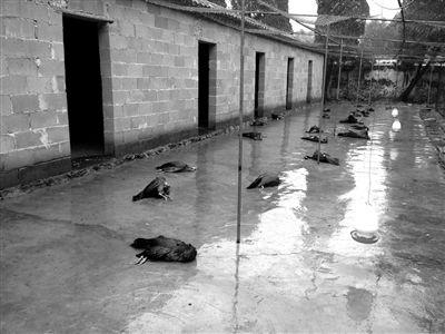 养殖场连日病死上千只孔雀 专家称与禽流感无关 - CHINA-CLO2 - 中国消毒水网