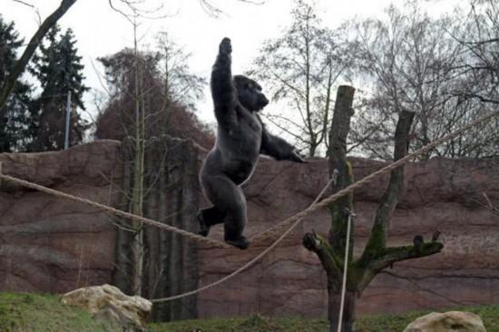 德国动物园大猩猩 自学玩杂技(组图)_大粤网_腾讯网