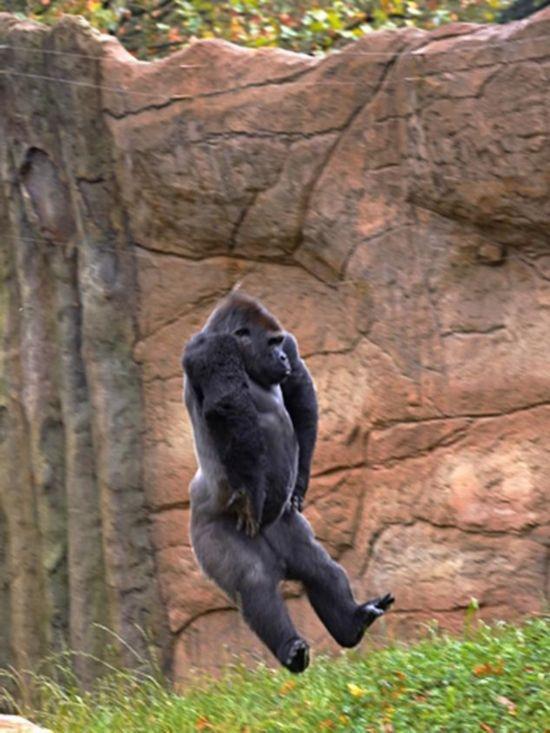 德国动物园大猩猩 自学玩杂技(组图)