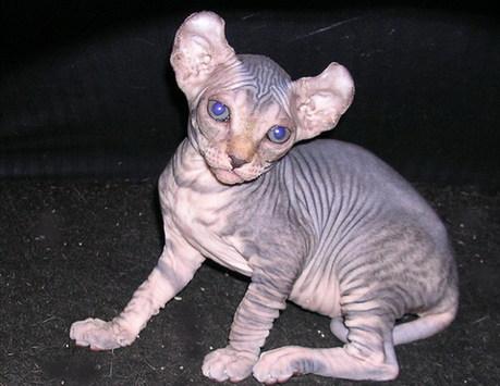 美国女生培育出无毛卷耳猫 长相酷似精灵多比