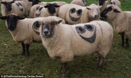 """英国各地上百绵羊身上出现神秘""""笑脸""""(图)"""