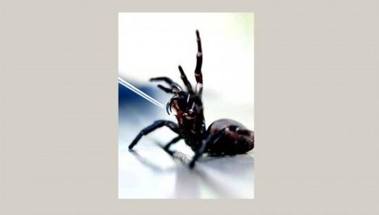 澳大利亚 环保/澳大利亚爬行动物公园,工作人员正在提取一只漏斗网蜘蛛的毒液...