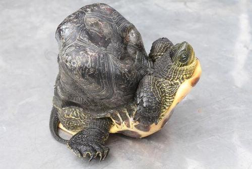云林畸形龟被误以为土块街坊围观称奇(图)