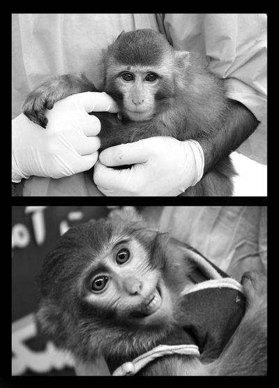 上图为公布的送入太空前的活猴照片,下图为1月30日新闻发布会上的猴子,红痣不见了,且毛色较深。