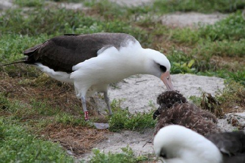 世上最長壽的鳥:62歲信天翁仍能產卵孵化