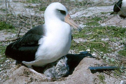 世上最长寿的鸟:62岁信天翁仍能产卵孵化
