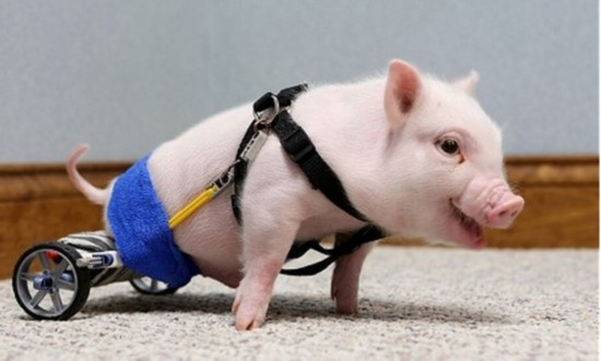 超萌无腿小猪借轮椅行走 自强勇敢打动网友