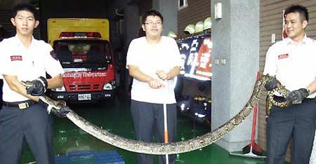 台中市东英消防分队昨天捕获一条蟒蛇。(图:东森新闻)