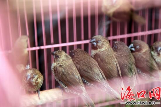 关在笼中的小鸟-海口50名志愿者自掏腰包买野生动物放生