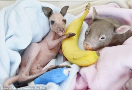 澳袋鼠遇山火成孤儿幸得路人相救