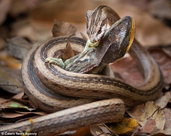 英摄影师抓拍毒蛇生吞变色龙全程